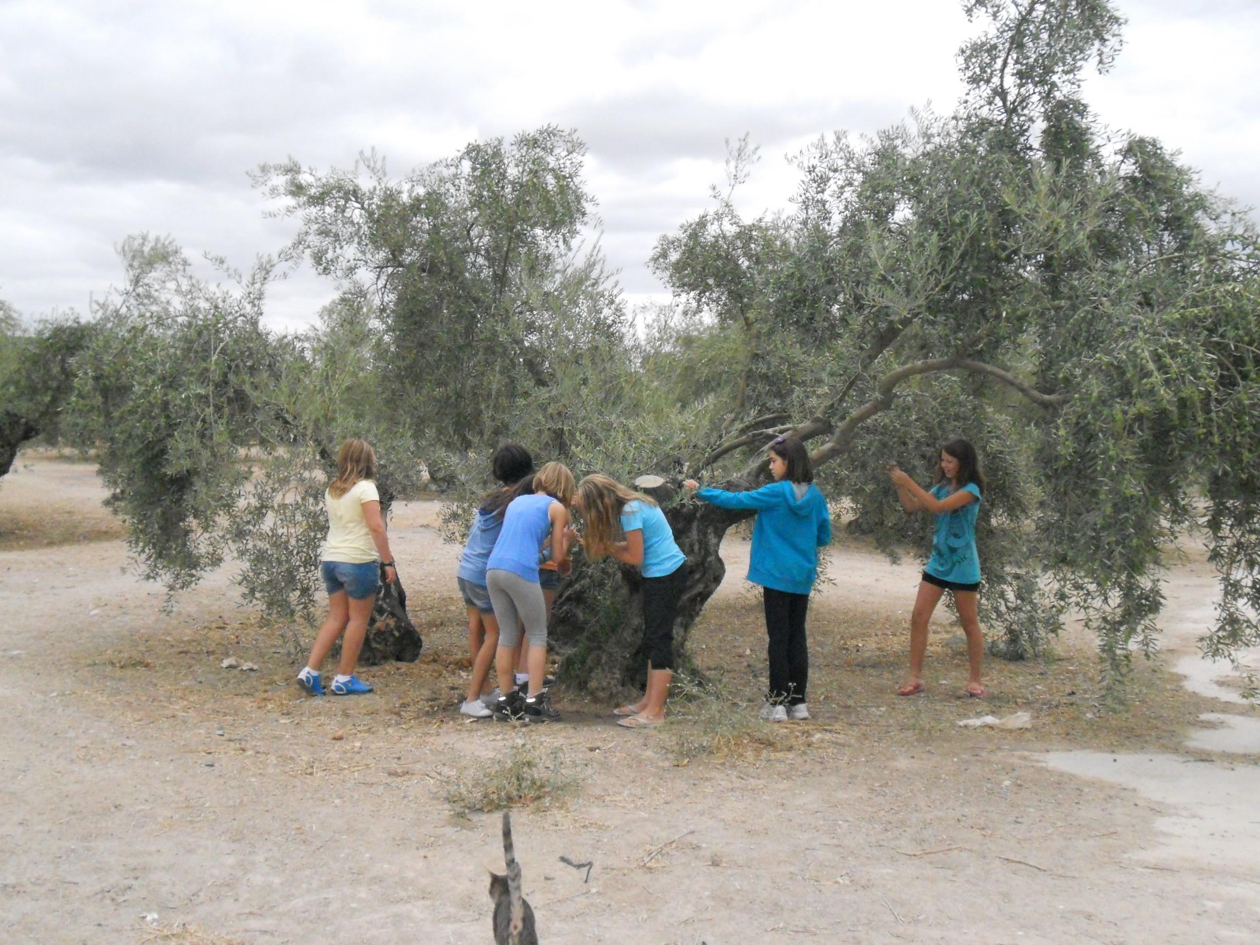 Descubriendo el olivar con los cinco sentidos