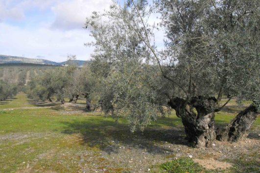 olivar-cortijo3